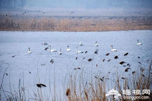 汉石桥湿地初春喜迎白天鹅