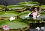 圆明园三处水域王莲进入盛花期 一花三开颜色不同