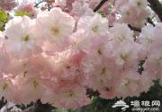上海三月份去哪赏樱花 2014上海去哪赏樱花最好