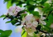 北京哪里可以看海棠花?北京海棠花观赏地推荐