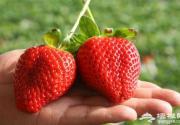 北京草莓采摘首选丁丁草莓园,北京草莓采摘推荐