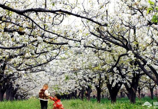 2018第二十五届北京(大兴庞各庄)梨花节暨美食娱乐嘉年华预计4月3日开幕!