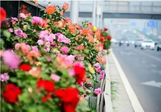 北京月季文化節