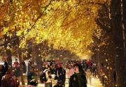 柠檬色的秋天童话 北京银杏观赏地