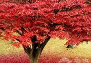 约朋带友共观红叶 京城观赏红叶好地儿