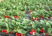 冬季北京周末游 草莓采摘园感受绿色