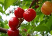 北京最有吸引力的10个樱桃采摘地