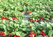 2010北京草莓采摘季 全攻略