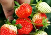 五月草莓飘香 到京郊过把采摘瘾