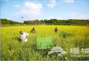 5月京郊油菜花正值花期 最佳观赏地推荐