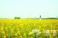 京郊千亩油菜花盛放迎客 推荐5条观赏线