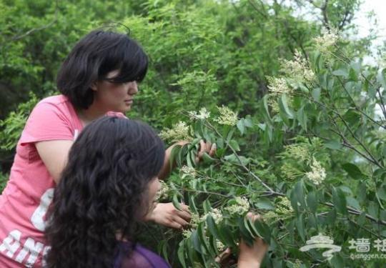 北京八达岭国家森林公园丁香谷免费向高考生开放三天