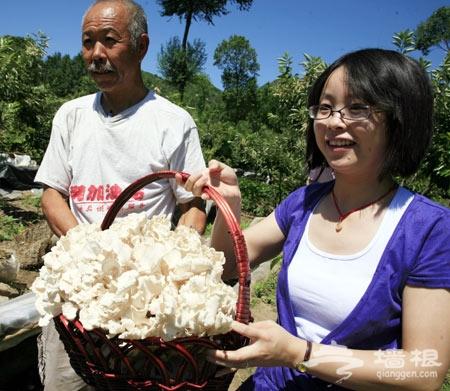 延慶深山好避暑 板栗樹下采蘑菇