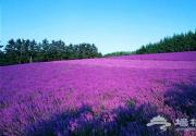 蓝调薰衣草庄园演绎北京紫色浪漫