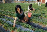 怀柔富红草莓采摘园