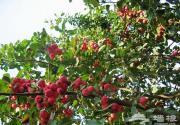 金秋十月去庙上采红果 抗战餐