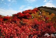 八达岭红叶进入最佳观赏期