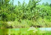 恢复万亩泉水湿地百种水鸟京南安家