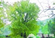 """北京的""""帝王树"""""""