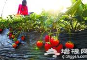 北京顺义鲜花港温室大棚草莓能摘了