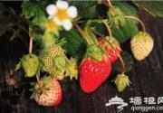 摘一颗草莓 诱惑北京城整个冬季