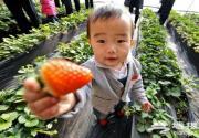 水果皇后香山斗艳 草莓文化旅游节开幕