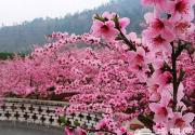 人间四月赏花时 京郊桃花观赏地