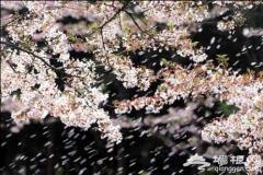 玉渊潭樱花节 四月赏花最佳时期