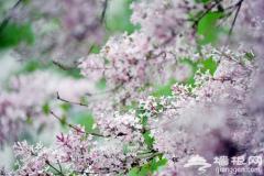 走遍京郊 墙根带您寻找世上最香的花 丁香花