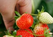 春游宝典:京郊五大经典草莓采摘地全攻略