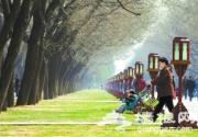 北京天坛公园草坪返青 游客自觉保护