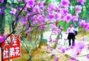 北京怀柔红螺寺景区盛开高山杜鹃花