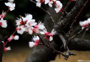 京郊处处有樱花 何必挤破玉渊潭