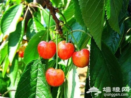 美味的童话 北京海淀樱桃采摘园完全攻略(图)