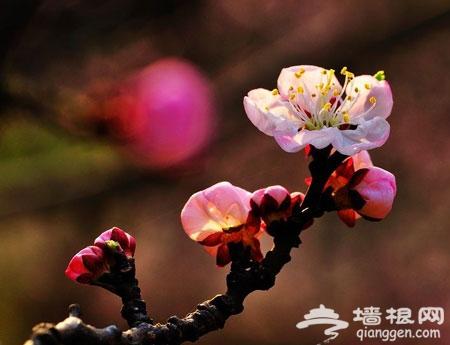 2011八达岭长城杏花节