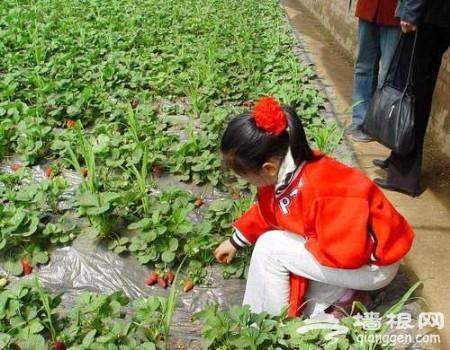 京郊品美味 北京4条草莓采摘线路攻略