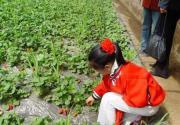 品鲜五一节 北京草莓采摘4大线路攻略