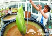 """""""世界上最臭的花""""将在北京植物园首露花芽"""