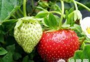 五月草莓飘香 京郊采摘玩乐全攻略