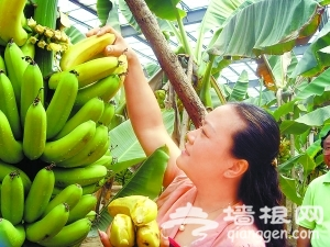 京产热带水果一年四季可采摘