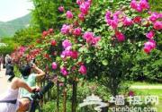 北京植物园月季树开花吸引众多游客
