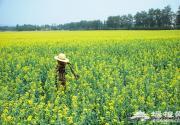 5月尾巴6月前奏 探访京郊最大油菜花海