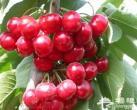 海淀樱桃节开幕 5大樱桃采摘园将美味带回家