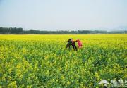 探訪京郊最大的油菜花?!可介L溝花田節賞油菜花