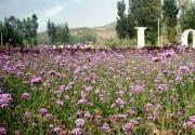 去密云紫海香堤香草园——感受法式风情