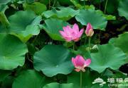夏赏绿荷池 京城10处赏荷地游玩攻略