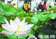 北京莲花池公园盛开台湾九品香水莲