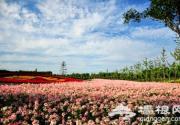 北京国际鲜花港菊花文化节2011年9月举办