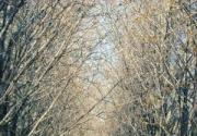 银杏大道——钓鱼台国宾馆的美丽秋色