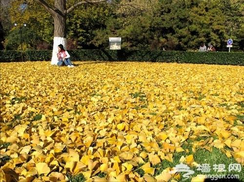 秋日的金黄诱惑 漫步北京五大银杏道